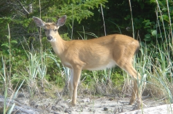 Deer on Haida Gwaii