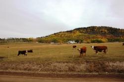 Cows at Ootsa Reach
