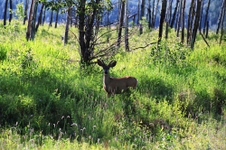 Peace River Deer
