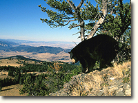 Black bears have thrived and increased in number in B.C.