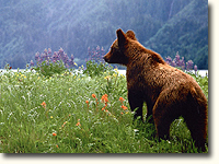 Bears love open spaces with berry bushes.