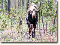 Irritated moose charging