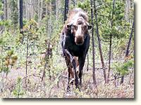 Irritated moose charging